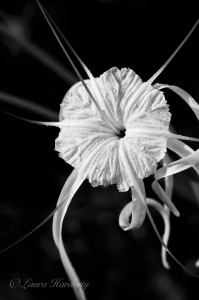 Spider Lily photo by Laura Hardesty